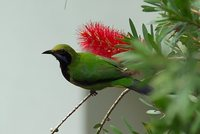 Orange-bellied Leafbird - Chloropsis hardwickii