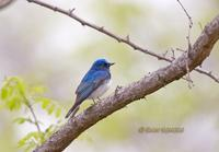 Blue-and-white flycatcher C20D 02741.jpg