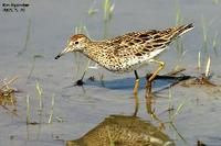 Calidris acuminata , 메추라기도요 - Sharp-railed Sandpiper