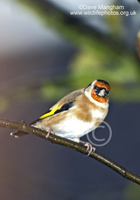 : Carduelis carduelis; European Goldfinch