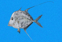 Selene orstedii, Mexican moonfish: fisheries, gamefish