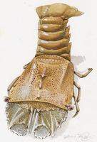Image of: Thenus orientalis (flathead lobster)