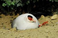 Image of: Crossoptilon crossoptilon (white eared-pheasant)