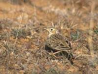 Sprague's Pipit (Anthus spragueii) photo