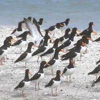 Pied Oystercatcher (Haematopus longirostris) photo