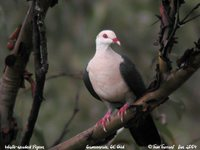 White-headed Pigeon - Columba leucomela
