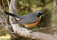 White-throated Robin - Irania gutturalis