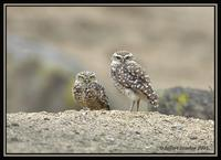 Burrowing Owl 1