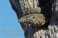 Monitor lizard emerging from its hole in a tree stock photo