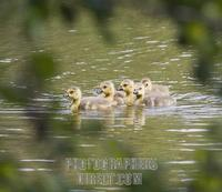 ...Germany , DEU , Waltrop , 2007May15 : Five Canada goose goslings ( Branta canadensis ) swimming
