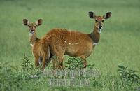 ...Bushbuck with young ( Tragelaphus scriptus ) , Queen Elisabeth National Park , Uganda stock phot