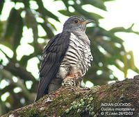 Indian Cuckoo » Cuculus micropterus