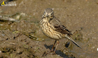 Fig. 24. Buff Bellied Pipit : 밭종다리