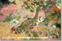 ...Image 07897, Sailfin sculpin., Nautichthys oculofasciatus, Phillip Colla, all rights reserved wo