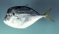 Selene setapinnis, Atlantic moonfish: fisheries, aquarium