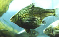 Micrometrus minimus, Dwarf perch: