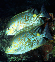 Siganus guttatus, Orange-spotted spinefoot: fisheries, aquaculture, aquarium