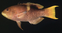 Bodianus perditio, Golden-spot hogfish: fisheries, gamefish, aquarium