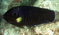 Centropyge flavipectoralis, Yellowfin angelfish: aquarium