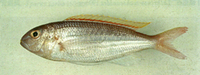 Nemipterus aurorus, Dawn threadfin bream: fisheries
