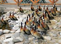 Image of: Dendrocygna viduata (white-faced whistling-duck)