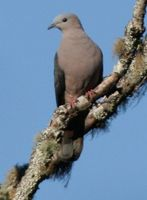 Dark-backed Imperial Pigeon - Ducula lacernulata