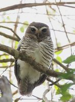 White-browed Owl (Ninox superciliaris) photo