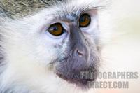 Photo of the face of a Green Monkey stock photo