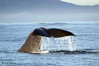 Sperm Whale, Physeter catodon  Rolf Hicker Nature Photography