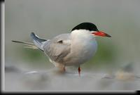 Common Tern, Jones Beach, NY