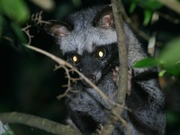 ...palm civet photographed in December of 2004 using a Canon 10D camera and Canon 100-400mm image s