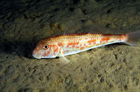 Mullus barbatus barbatus, Red mullet: fisheries, gamefish