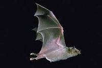 Image of: Leptonycteris nivalis (Mexican long-nosed bat)