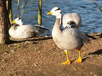 Anser indicus - Bar-headed Goose