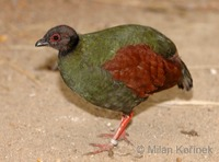 Rollulus rouloul - Crested Partridge
