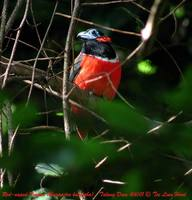 Red-naped Trogon - Harpactes kasumba