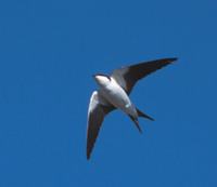 Bahama Swallow (Tachycineta cyaneoviridis) photo