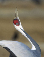 White-naped Crane (Grus vipio) photo