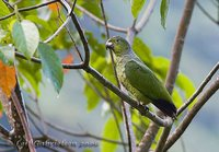 Scaly-naped Parrot - Amazona mercenaria