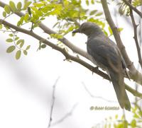 Black-winged cuckooshrike C20D 03792.jpg