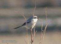 Chinese Great Grey Shrike Lanius sphenocercus 물때까치