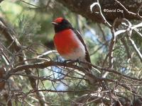 Red-capped Robin (male)
