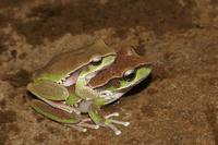 : Litoria citropa; Blue Mountains Tree Frog