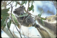 : Phascolarctos cinereus; Koala & Baby