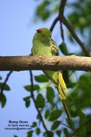 Rose-ringed Parakeet Scientific name - Psittacula krameri