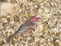 Pallas's Rosefinch (Carpodacus roseus) photo