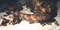 Haploblepharus pictus, Dark shyshark: fisheries, gamefish