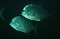 Carangoides coeruleopinnatus, Coastal trevally: fisheries, gamefish