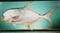 Trachinotus mookalee, Indian pompano: fisheries, gamefish