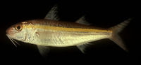 Upeneus moluccensis, Goldband goatfish: fisheries